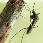 Common Mosquito Pest Aedes vexans