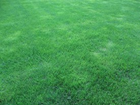 A lawn full of lush Kentucky bluegrass that has been under organic management for 4 years. Credit: J. Heckman