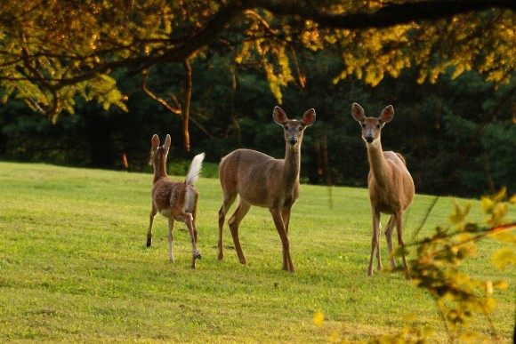 Deer, domestic backyard, lawn