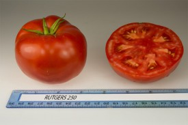 'Rutgers 250' tomato, the Rutgers 250 All-Star Variety of the Month for April 2016. Photo courtesy of Peter Nitzsche, Rutgers NJAES.