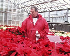 George Wulster inspecting poinettias in greenhouse.
