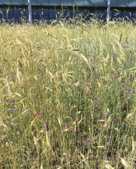 Meadow Watch 1 - Rye