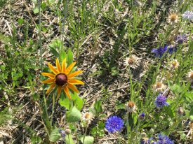 Meadow Watch 3 - Black Eyed Susan 1