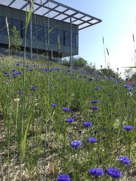 Meadow Watch 7 - Cornflower