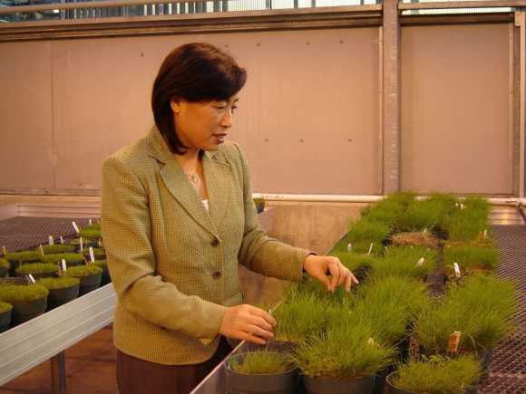 Bingru Huang examines turf samples in the greenhouse.