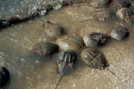 Horseshoe crabs (Limulus polyphemus).
