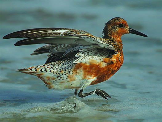 Red Knot (Calidris canutus).