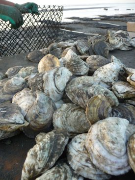 Farm raised oysters ready for harvest at a Cape May County oyster farm.