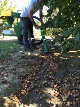 Hazelnuts being harvested for evaluation. Photo Credit: Tom Molnar.