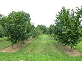 hazelnuttrees002