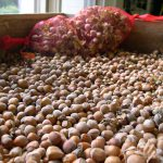 Rutgers 250: NJAES All-Star Variety of the Month – Hazelnut