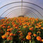 New Brunswick Community Farmers Market's Marigold Project Offers Flowers for El Dia de los Muertos