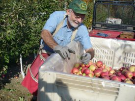 Rutgers Master Gardener Dave Johnson fills a bin with fresh-picked apples.