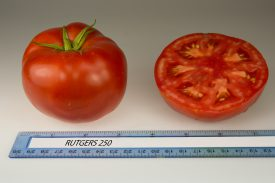 The Rutgers 250 tomato resulted from re-inventing the Rutgers tomato from scratch.