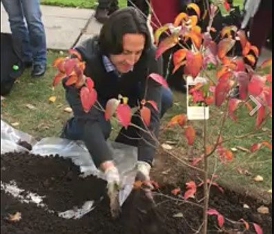 Associate professor Thomas Molnar planting the Scarlet Fire Dogwood.