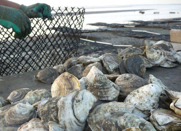 Nj Legislation Assisting Oyster Producers Signed Into Law