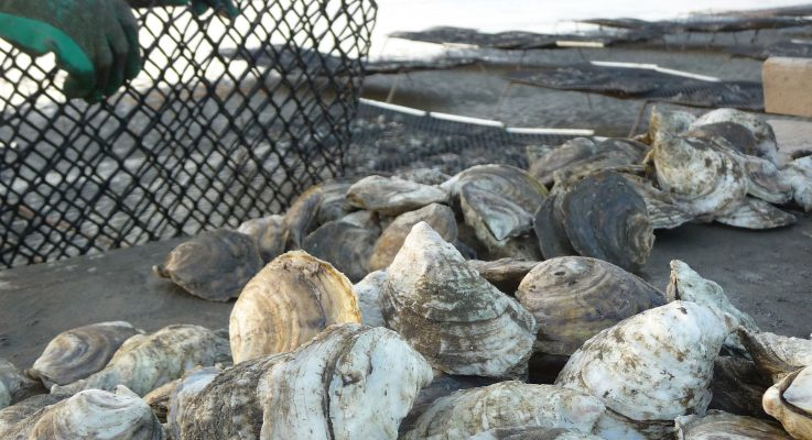 NJ Legislation Assisting Oyster Producers Signed Into Law, Promotes Aquaculture