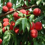 Innovative Nursery Advances Rutgers NJAES Tree Fruit Research