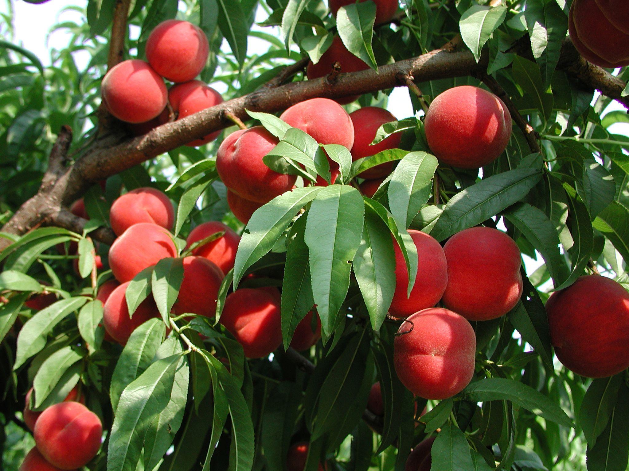 Rutgers Njaes Tree Fruit