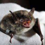 Bat Research at Rutgers Aided by Two Grants from the U.S. Fish and Wildlife Service