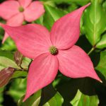 Decades of Breeding Results in Scarlet Fire, the Newest Rutgers Dogwood Tree