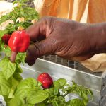 Ayeni's Exotic Peppers a Hit at Rutgers