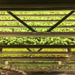 Rutgers Collaborates with AeroFarms Project Funded to Enhance Taste and Nutritional Quality in Leafy Greens