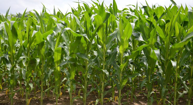 SEBS Scientists Genetically Boost the Nutritional Value of Corn Which Could Benefit Millions