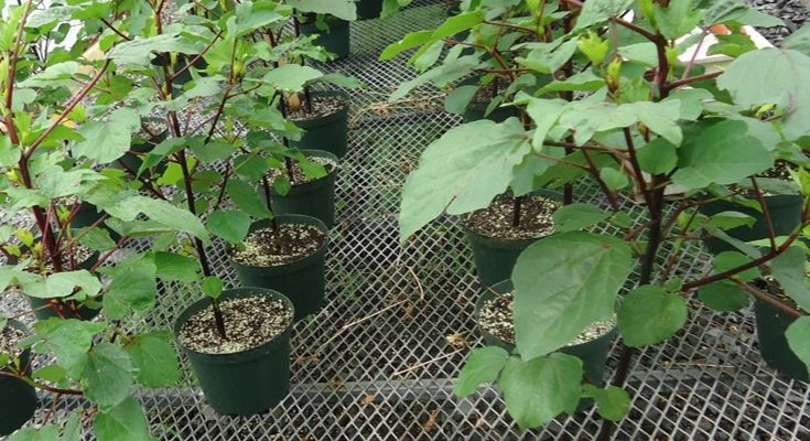 'Growing Roselle,' the Ninth Class in the NJAES Ultra-Niche Crops Series