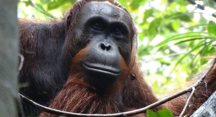 Grad Student Didik Prasetyo — on the Front Lines of Orangutan Conservation, Research