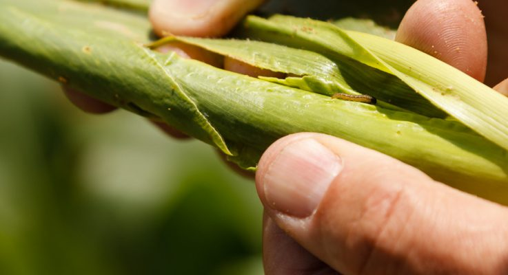 Study Shows Bt-Field Corn Results in Reduced Pest Pressure in Other Non-GM Vegetable Crops