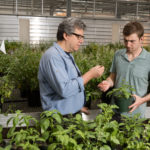 Rutgers NJAES Team Releases New Varieties of Downy Mildew Resistant Sweet Basil