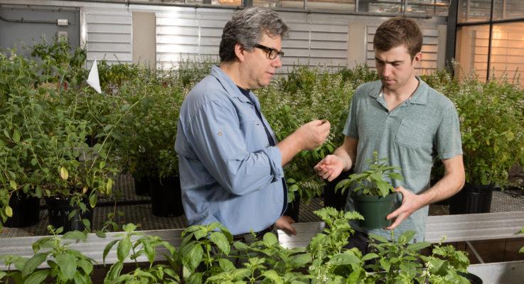 Rutgers NJAES Team Releases New Varieties of Downy Mildew Resistant Sweet Basil