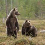 Scientists Use Bear Saliva to Rapidly Test for Antibiotics