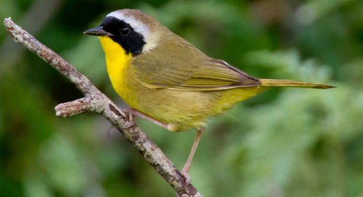 A New Community in an Old Forest: Loss of Songbirds Leads to Community Shift in an Old Growth Forest