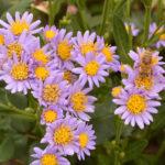 Aster-tataricus-full-flower